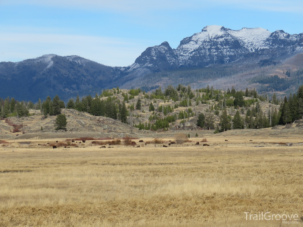 Herd of Bison Near Trailhead in Yellowstone.JPG