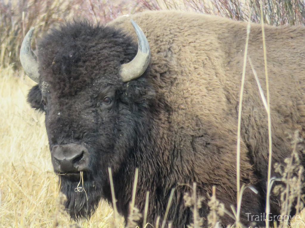 Yellowstone Buffalo.JPG