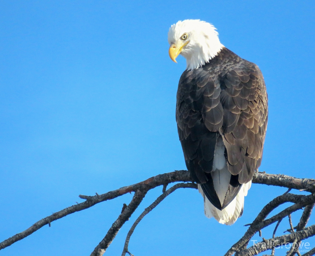 Bald Eagle Fishing in Yellowston.JPG