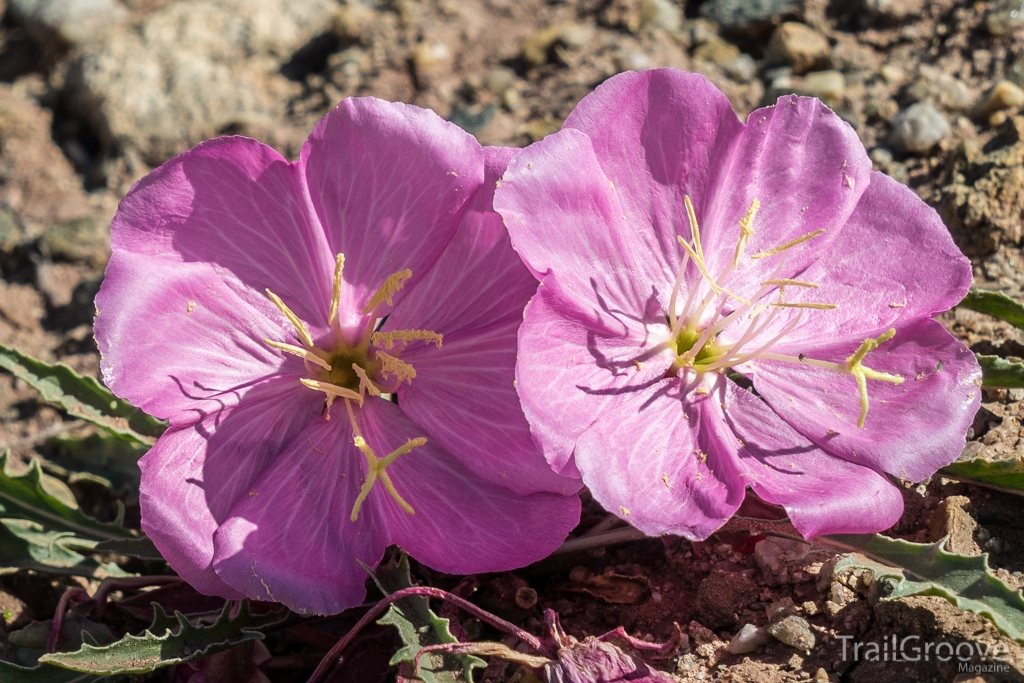 Spring Wildflowers in the Wyoming Desert - Primrose