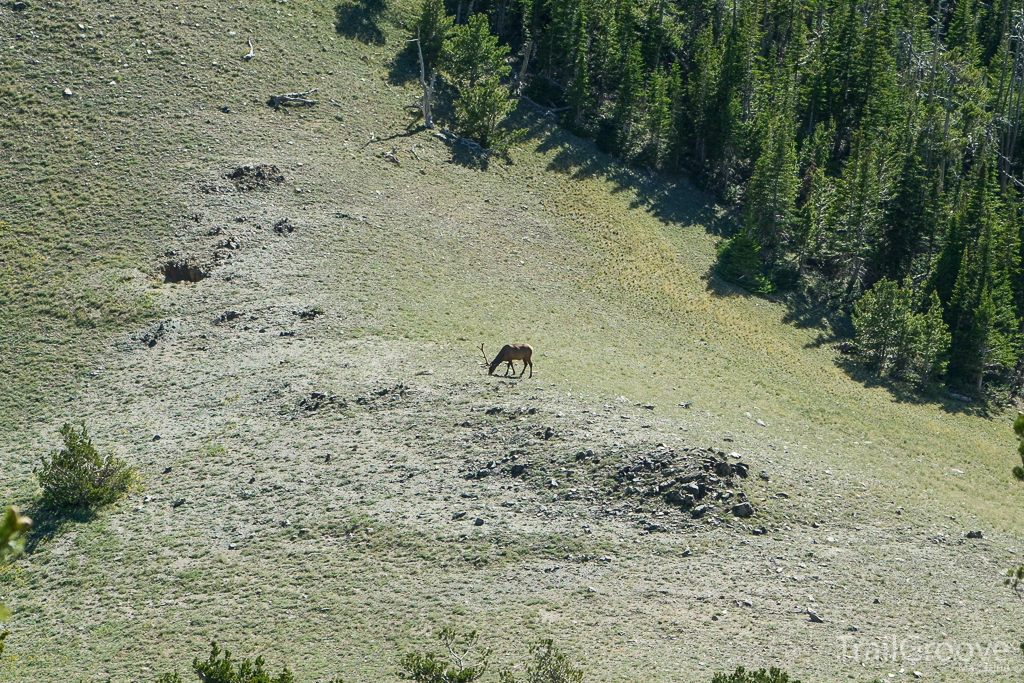 Elk Grazing as Seen While Hiking During Hunting Season